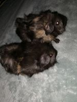 Guinea Pig Rodents for sale in New York, NY, USA. price: NA