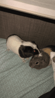 Guinea Pig Rodents for sale in Crestview, FL, USA. price: NA