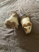 Guinea Pig Rodents for sale in Southfield, MI 48075, USA. price: NA