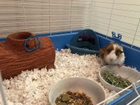 Guinea Pig Rodents for sale in UNIVERSITY PA, MD 20782, USA. price: NA