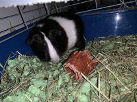 Guinea Pig Rodents for sale in Medford, NJ, USA. price: NA