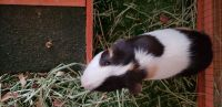 Guinea Pig Rodents for sale in Lexington, KY, USA. price: NA