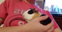Guinea Pig Rodents for sale in Bellevue, WI 54311, USA. price: NA