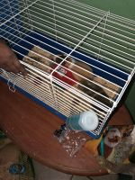 Guinea Pig Rodents for sale in Fort Lauderdale, FL, USA. price: NA