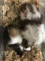 Guinea Pig Rodents for sale in Wharton, NJ, USA. price: NA