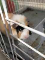Guinea Pig Rodents for sale in Providence, RI, USA. price: NA