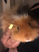 Guinea Pig Rodents for sale in Portland, OR, USA. price: NA