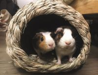 Guinea Pig Rodents for sale in SoMa, San Francisco, CA, USA. price: NA