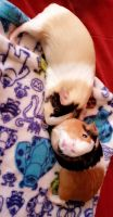 Guinea Pig Rodents for sale in Glendale, AZ 85301, USA. price: NA