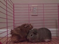 Guinea Pig Rodents for sale in Pittsburg, CA, USA. price: NA