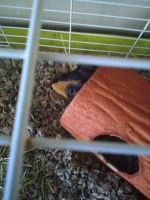 Guinea Pig Rodents for sale in 12829 W Laurel Ln, El Mirage, AZ 85335, USA. price: NA