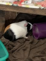 Guinea Pig Rodents for sale in Lemoore, CA 93245, USA. price: NA