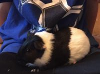 Guinea Pig Rodents for sale in Loveland, CO, USA. price: NA