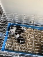 Guinea Pig Rodents for sale in Bellefontaine, OH 43311, USA. price: NA