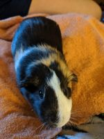 Guinea Pig Rodents for sale in Tacoma, WA, USA. price: NA
