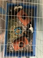Guinea Pig Rodents for sale in Arlington, TX, USA. price: NA