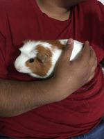 Guinea Pig Rodents for sale in Nampa, ID 83686, USA. price: NA