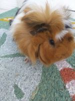 Guinea Pig Rodents for sale in Lecanto, FL, USA. price: NA