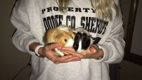 Guinea Pig Rodents for sale in Waukesha, WI, USA. price: NA