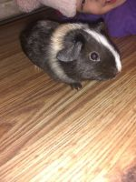 Guinea Pig Rodents for sale in Fitchburg, MA 01420, USA. price: NA