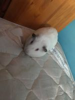 Guinea Pig Rodents for sale in 91 E 116th St, New York, NY 10029, USA. price: NA