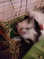 Guinea Pig Rodents for sale in Adirondack, NY 12808, USA. price: NA