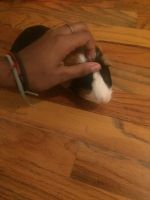 Guinea Pig Rodents for sale in 13-88 McBride St, Far Rockaway, NY 11691, USA. price: NA