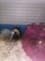 Guinea Pig Rodents for sale in 7649 S Stewart Ave, Chicago, IL 60620, USA. price: NA