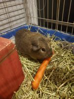 Guinea Pig Rodents for sale in Gilbert, AZ, USA. price: NA