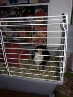 Guinea Pig Rodents for sale in Cadet, MO 63630, USA. price: NA