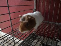 Guinea Pig Rodents for sale in Terrell, TX 75160, USA. price: NA