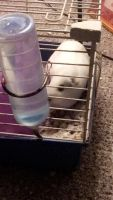 Guinea Pig Rodents for sale in Indianapolis, IN, USA. price: NA
