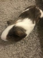 Guinea Pig Rodents for sale in 501 E Stassney Ln, Austin, TX 78745, USA. price: NA