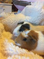 Guinea Pig Rodents for sale in Boise, ID, USA. price: NA