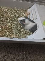 Guinea Pig Rodents for sale in Irvine, CA 92614, USA. price: NA