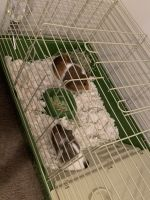 Guinea Pig Rodents for sale in 10 Woodridge Dr, Bowdon, GA 30108, USA. price: NA