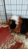 Guinea Pig Rodents for sale in Aurora, CO, USA. price: NA