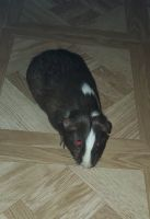 Guinea Pig Rodents for sale in King City, CA, USA. price: NA
