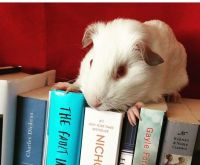 Guinea Pig Rodents for sale in Lubbock, TX, USA. price: NA