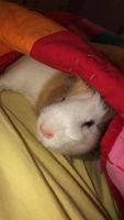 Guinea Pig Rodents for sale in Auburn, AL, USA. price: NA
