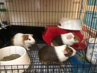 Guinea Pig Rodents for sale in Woodhaven, NY 11421, USA. price: NA