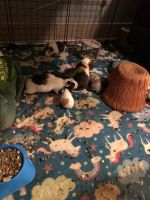 Guinea Pig Rodents for sale in Mobile, AL, USA. price: NA
