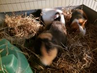 Guinea Pig Rodents for sale in Adamstown, PA, USA. price: NA