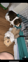 Guinea Pig Rodents for sale in Las Vegas, NV 89121, USA. price: NA