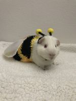 Guinea Pig Rodents for sale in West Des Moines, IA, USA. price: NA
