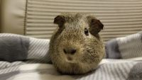 Guinea Pig Rodents for sale in Anderson, SC, USA. price: NA
