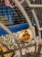 Guinea Pig Rodents for sale in Glendora, NJ 08029, USA. price: NA