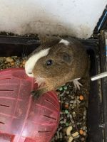 Guinea Pig Rodents for sale in 11932 Twinlakes Dr, Calverton, MD 20705, USA. price: NA