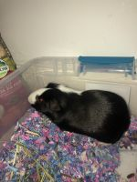 Guinea Pig Rodents for sale in Deerfield Beach, FL, USA. price: NA