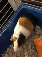 Guinea Pig Rodents for sale in 5077 Stacey Rd, Memphis, TN 38109, USA. price: NA